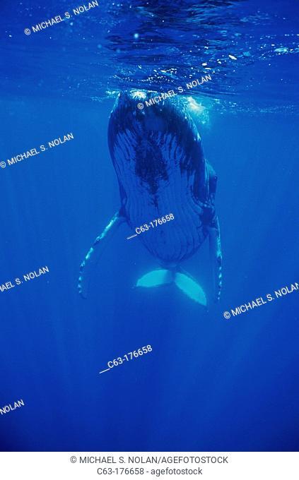 Humpback Whale (Megaptera novaeangliae). Hawaii. USA