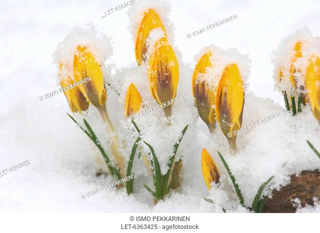 Cold spell in spring  Snow covered crocus in Joensuu, Eastern Finland Apr 30th