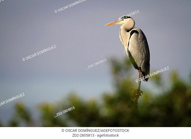 Grey Heron (Ardea cinerea) perched on pole. Albufera Natural Park. Valencian Community. Spain