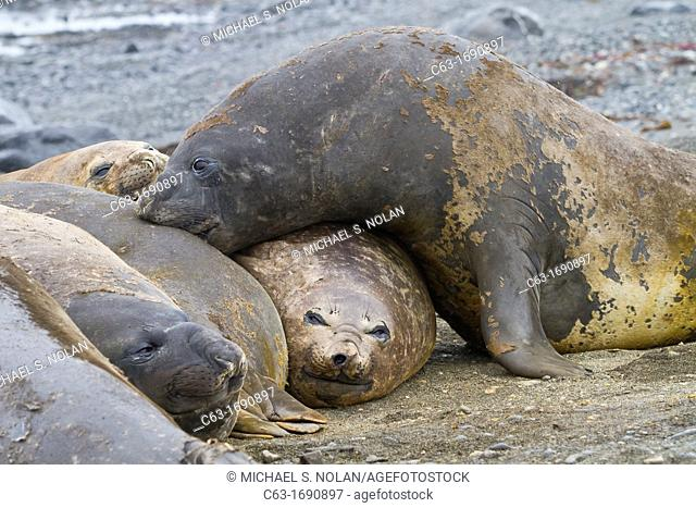 Southern elephant seals Mirounga leonina hauled out for their annual catastrophic molt on the beach at Snow Island, Antarctica