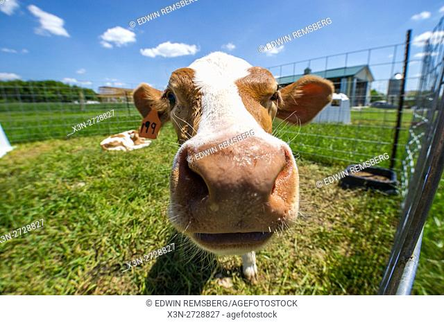 Young calf on a dairy farm