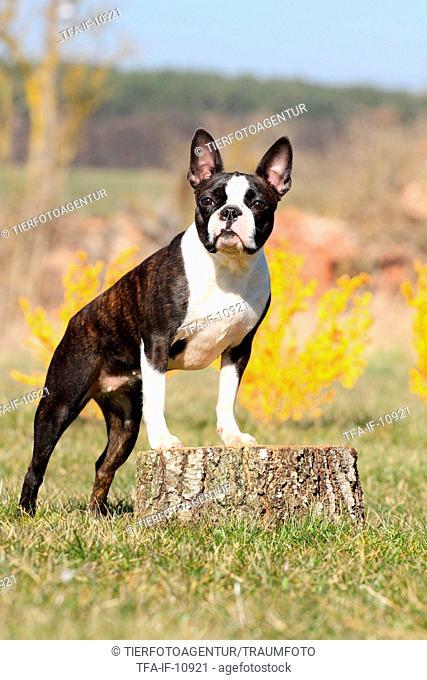 standing Boston Terrier