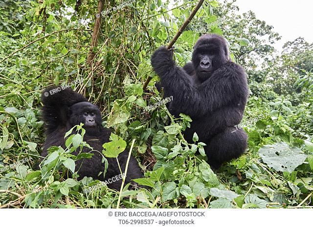 Silverback Mountain gorilla (Gorilla beringei beringei) with female. Virunga National Park, North Kivu, Democratic Republic of Congo, Africa