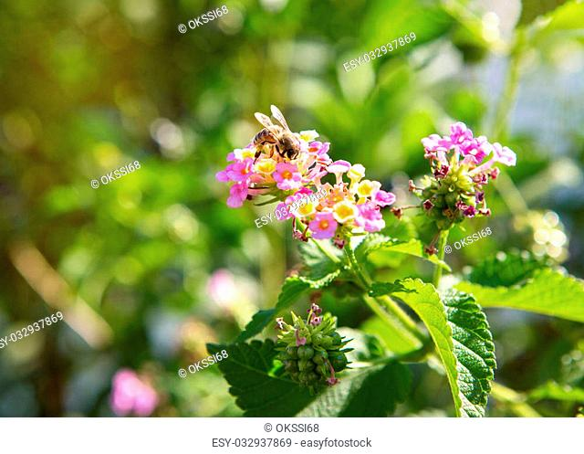 Bee on a bright flower collects honey and pollinating plant