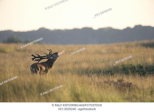Red Deer (Cervus elaphus), stag, roaring deeply, in wide open grassland, with breath cloud, at dusk