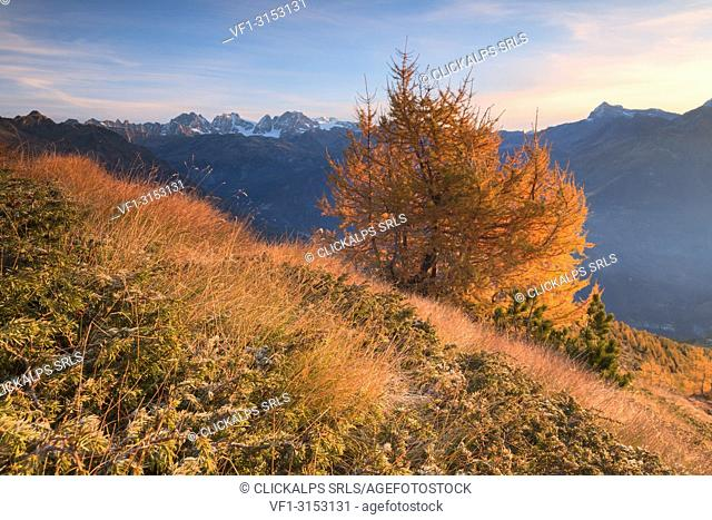 Larch trees and colors of autumn on Sasso Bianco with Bernina Group in the background, Valmalenco, Valtellina, Lombardy, Italy
