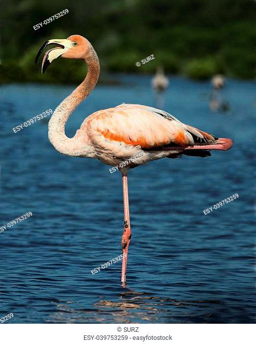 Vertical portrait of a greater flamingo. American or Caribbean flamingo ( Phoenicopterus ruber ruber )