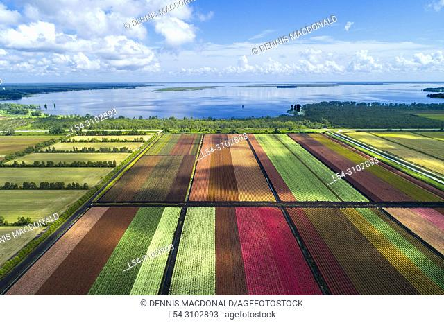 The colorful world famous Caladium flower growing fields in Lake Placid Florida supplying 90% of the world supply of Caladium flowers