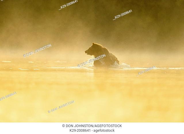 Grizzly bear (Ursus arctos)- Yearling (second-year) cub splashing in a salmon river during the autumn spawning season, Chilcotin Wilderness, BC Interior, Canada