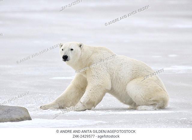 Polar bear (Ursus maritimus) rising on ice, Churchill, Manitoba, Canada