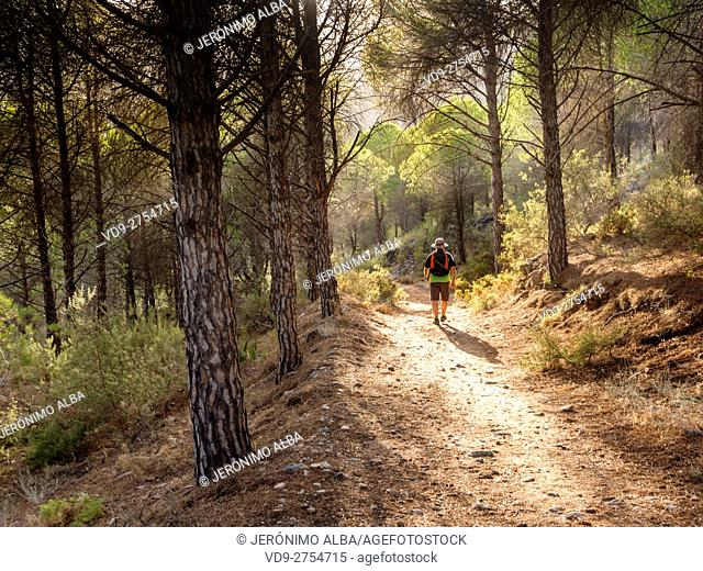 Hiker, Sierra Mijas mountain forest. Costa del Sol, Malaga province. Andalusia Spain. Europe