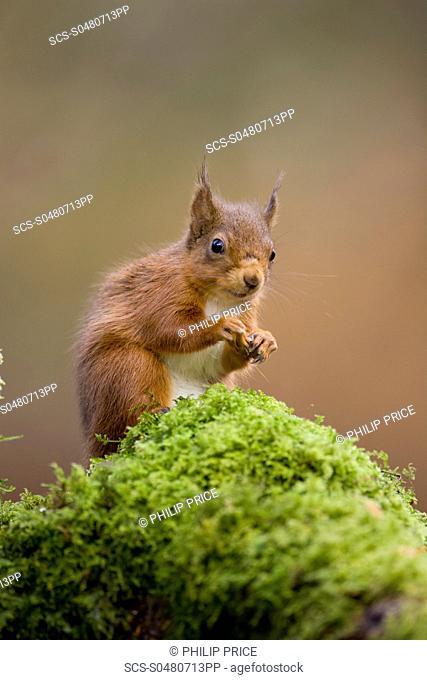 Red Squirrel Sciurus vulgaris sitting on mossy branch Loch Awe, nr Oban, Scotland, UK