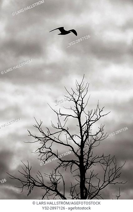 Bird flying over dead tree in silhouette. Dark and ominous sky. Dramatic and mysterious nature scene
