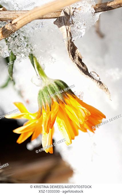 A weathered Calendula being covered in snow