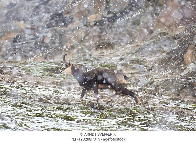 Chamois (Rupicapra rupicapra) male on snow covered mountain slope during snowfall in winter in the European Alps