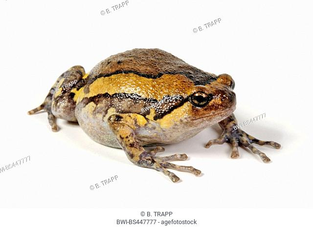 chubby frog, Asian painted frog, banded bullfrog, chubby frog, rice frog, bubble frog (Kaloula pulchra), lateral view, cutout