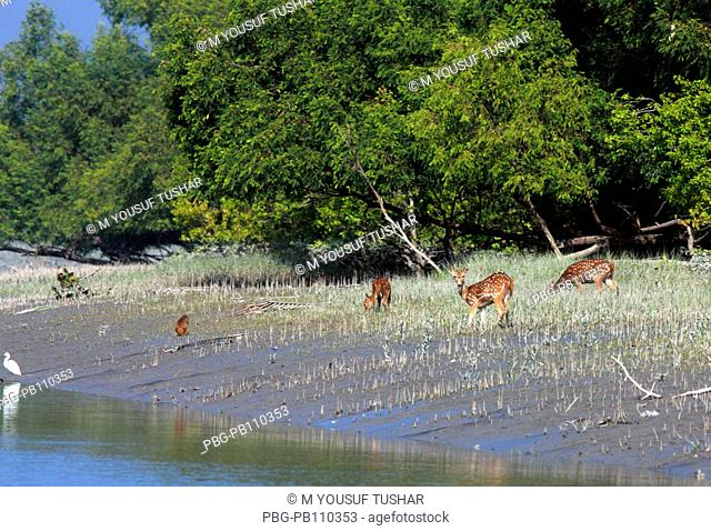 Spotted deer at the Sundarbans, a UNESCO World Heritage Site and a wildlife sanctuary The largest littoral mangrove forest in the world, it covers an area of 38
