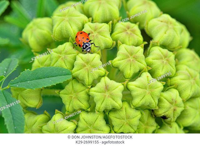 Antelope-Horns (Asclepias asperula) and foraging ladybird beetle, Burnet County, Texas, USA