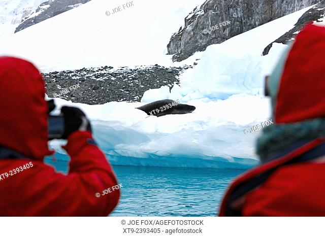 tourists on excursion taking photos of resting leopard seal cuverville island antarctica