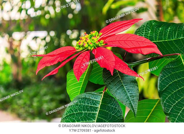 Red poinsettia flower. The photo is taken in winter garden in domestic home in Sofia, capital of Bulgaria, Europe
