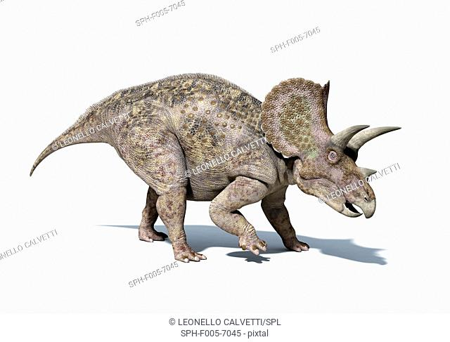 Triceratops dinosaur, computer artwork. This herbivorous dinosaur lived during the Cretaceous period