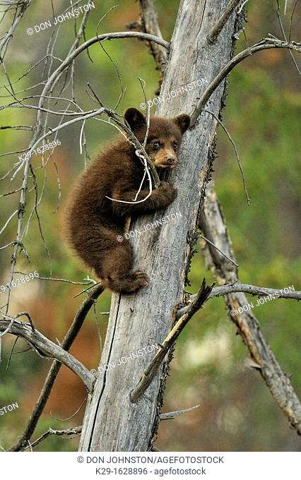 American Black bear Ursus americanus Young cub in the safety of a dead snag, Jasper NP, Alberta, Canada