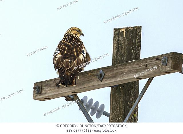 A beautiful hawk is perched on a wooden pole near Davenport, Washington