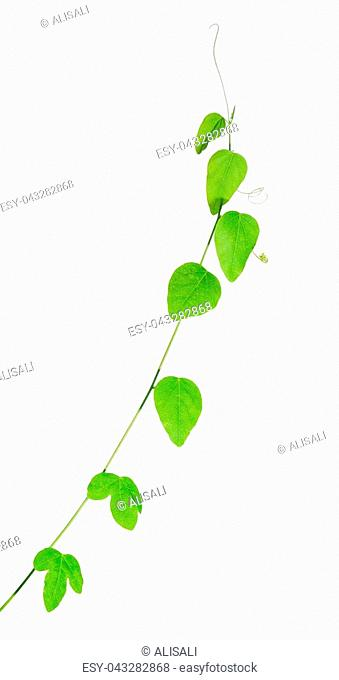 beautiful young green passionflower twig with tendrils is isolated on white background, close up