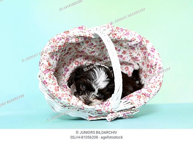 Bolonka Zwetna. Brown-and-white puppy (7 weeks old) lying in a shopping basket. Studio picture against a turquoise background