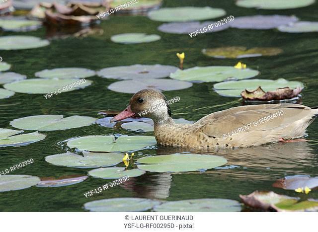 Duck, Foot-red, São Paulo, Brazil