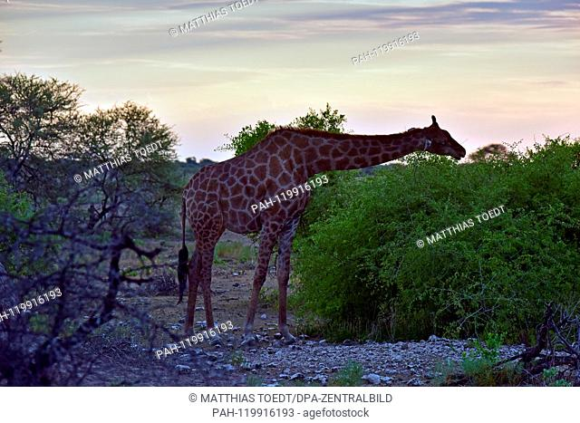 Giraffe taking a look at an acacia in the Etosha National Park at sunset time, taken on 05.03.2019. The Giraffe (giraffa) belongs to the pairhorses and with a...