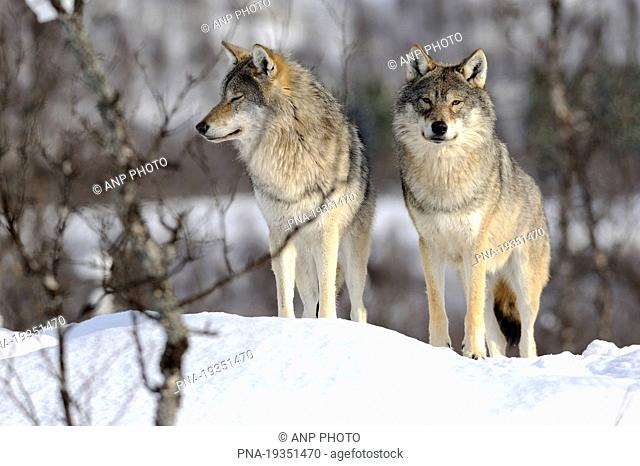 Grey Wolf Canis lupus - Norway, Scandinavia, Europe