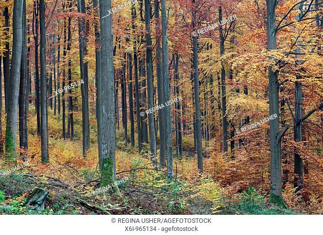 Beech Forest Fagus sylvatica, showing autumn colour, Germany