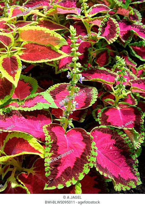 Coleus, Painted Nettle Coleus blumei, Solenostemon scutellarioides, blooming