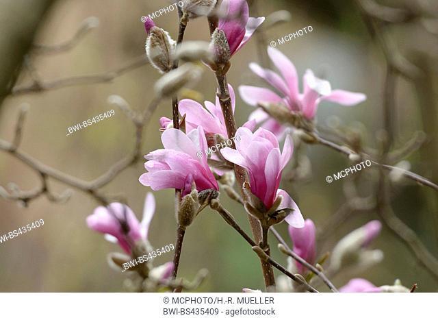magnolia (Magnolia x loebneri 'Leonard Messel', Magnolia x loebneri Leonard Messel), cultivar Leonard Messel