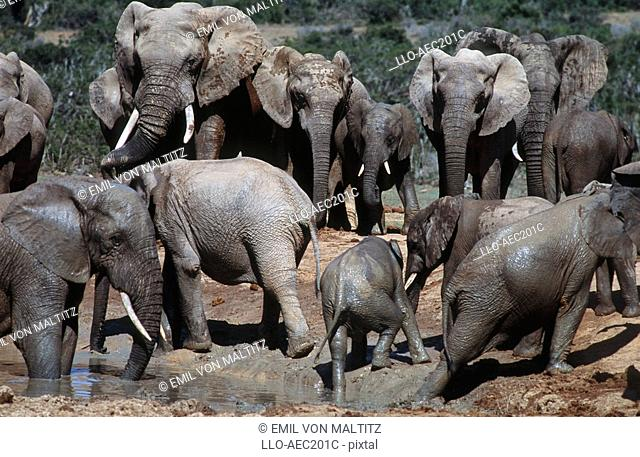 Herd of African Elephants Loxodonta africana at Waterhole  Addo Elephant National Park, Eastern Cape Province, South Africa