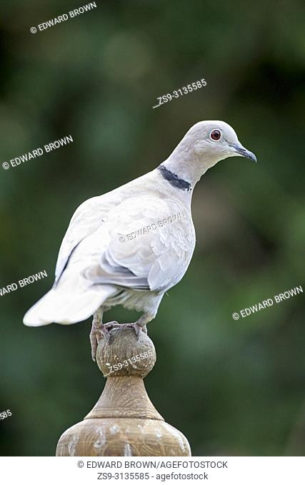 Collared dove (Streptopelia decaocto) East Sussex, UK