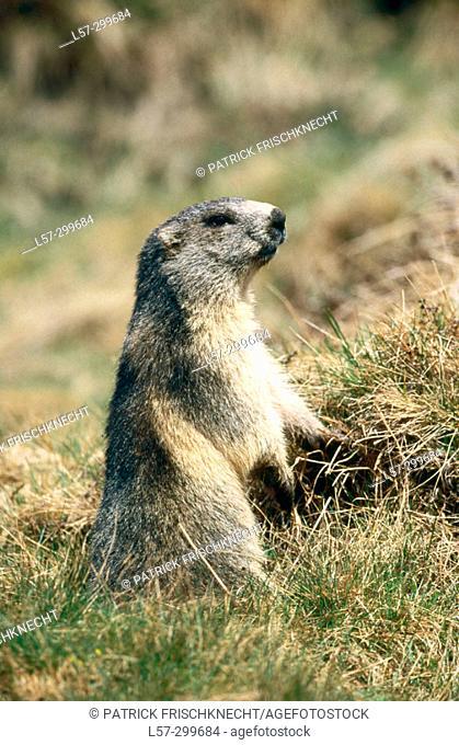 Alpine Marmot (Marmorta marmota). Wallis, Switzerland