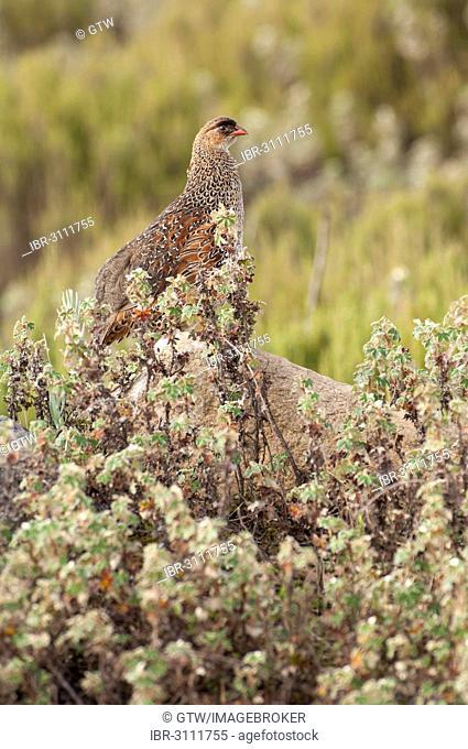 Erckels Francolin (Francolinus erckelii), Bale Mountains National Park, Bale Zone, Oromia Region, Ethiopia