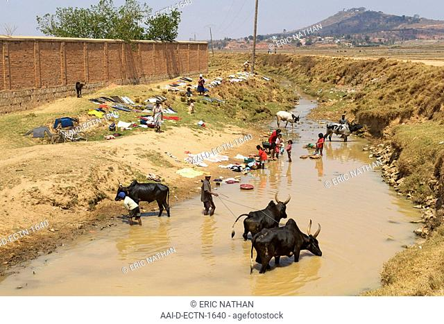 Zebu oxen drinking and people doing washing in a river on the outskirts of Antananarivo, the capital of Madagascar