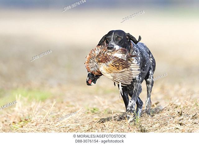 France, Bas Rhin, Labrador with a Common Pheasant (Phasianus colchicus), male