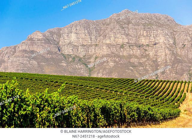 Vineyards at harvest time, Kleine Zalze Wines , Stellenbosch, Cape Winelands, South Africa