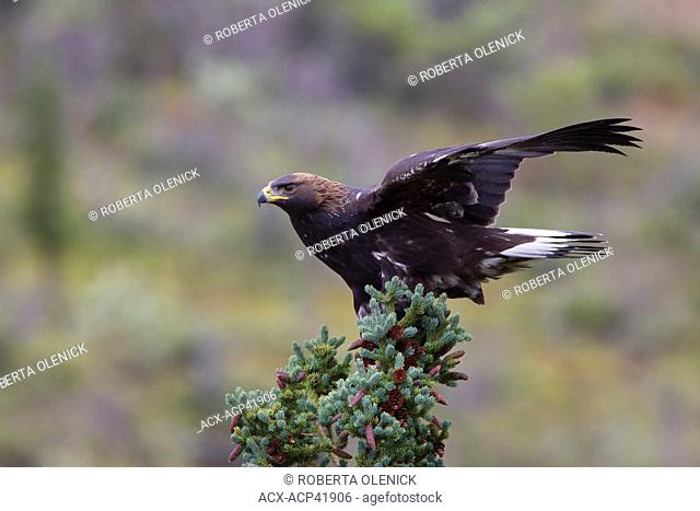 Golden eagle Aquila chrysaetos, juvenile, clinging to spruce in strong wind, Denali National Park, Alaska, United States of America