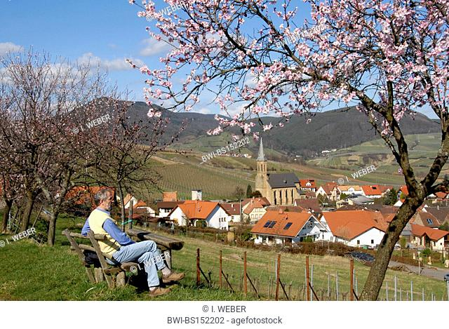 bitter almond (Prunus amygdalus), almond bloom near Birkweiler, wanderer on a bench, Germany, Rhineland-Palatinate, German Wine Route