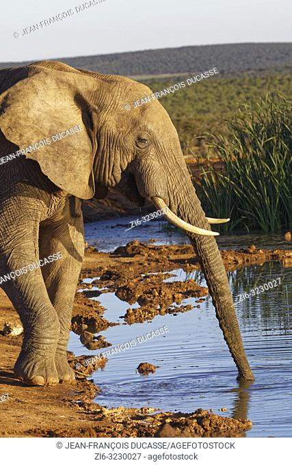 African bush elephant (Loxodonta africana), adult male, drinking at a waterhole, evening light, Addo Elephant National Park, Eastern Cape, South Africa, Africa