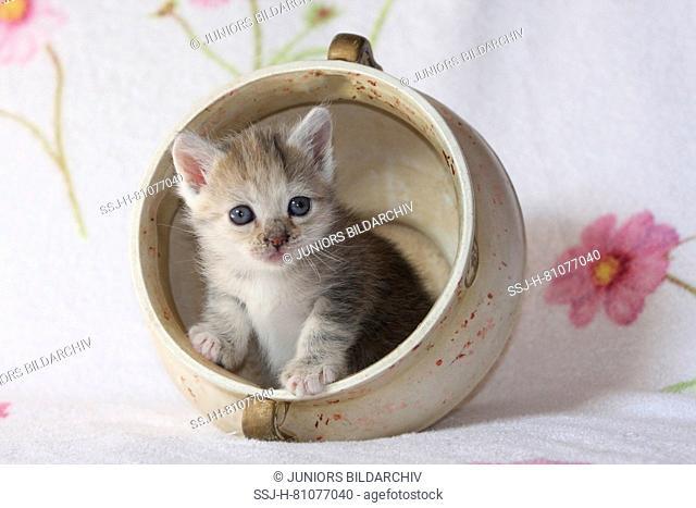 Domestic cat. Kitten in a vase. Germany