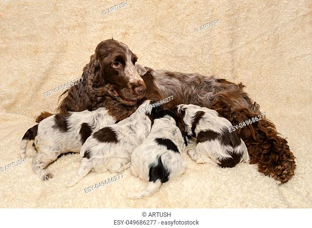 lying English Cocker Spaniel dog, mother and puppies drinking milk