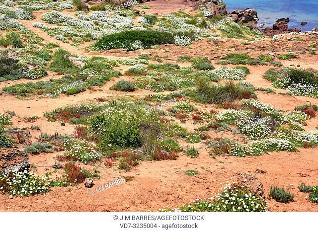 Seaside chamomile (Anthemis maritima) is a perennial herb native to western Mediterranean Basin. This photo was taken in Cala Pregonda, Menorca