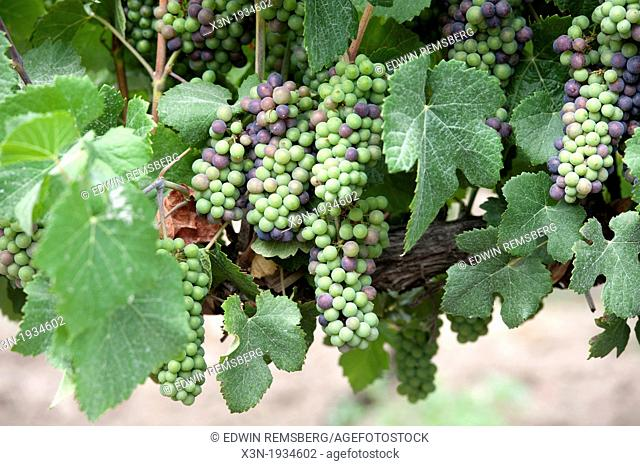 Grapes at vineyards and winery in Talagante Chile