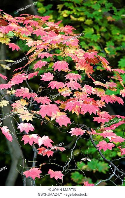 Acer Japonicum Aconitifolium Stock Photo Picture And Rights